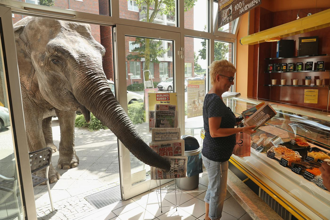 BERLIN, GERMANY - JULY 01: Maja, a 40-year-old elephant, extends her trunk into a bakery as a customer buys a newspaper while Maja took a stroll through the neighborhood with her minders from a nearby circus on July 1, 2016 in Berlin, Germany. Maja performs daily at Circus Busch and circus workers take her on walks among the nearby apartment buildings to vacant lots where she likes to eat the grass. City authorities sanction the outings and federal regulations reportedly encourage activities for elephants to stimulate the animals' cognitive awareness. (Photo by Sean Gallup/Getty Images)